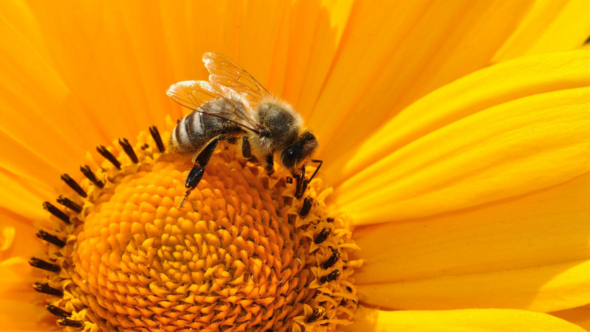 A bee gathers pollen from a sunflower.