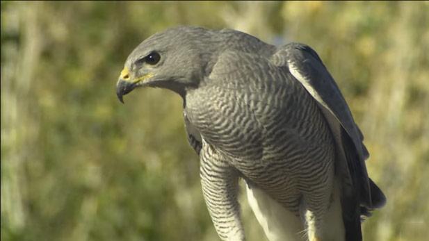 A gray hawk.