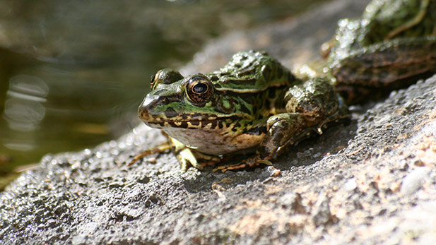 The Lowland Leopard Frog