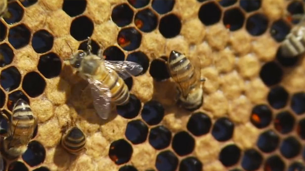 Bees work on their beehive.