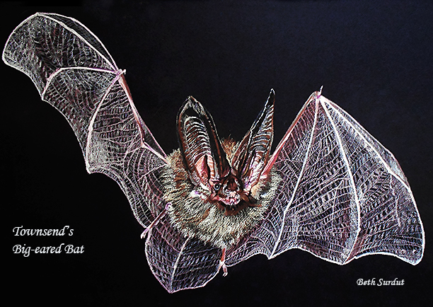 surdut bat spotlight
