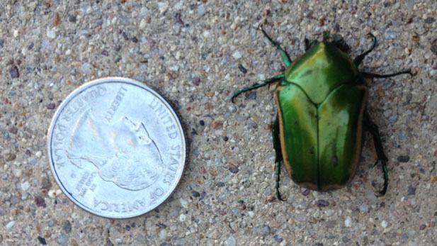 Bright Green Beetle Makes a Sonoran Desert Appearance - AZPM