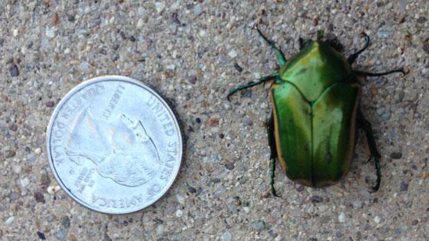 scarab beetle spotlight