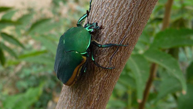 Scarab or figeater beetles are common during the Sonoran desert's hot summer months when they come out to eat and breed.