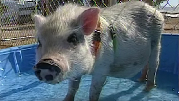 From the Vault: Hamlet the Pig 2000