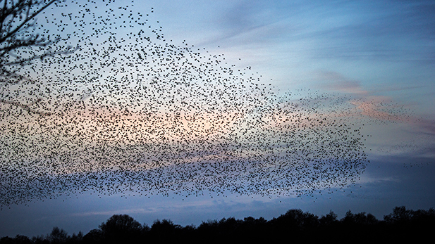 A murmuration of starlings at dusk on the Somerset Levels, UK.