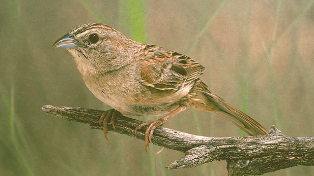 Botteri's sparrow is found mostly in Mexico but its habitat extends into small parts of southeast Arizona and Texas.