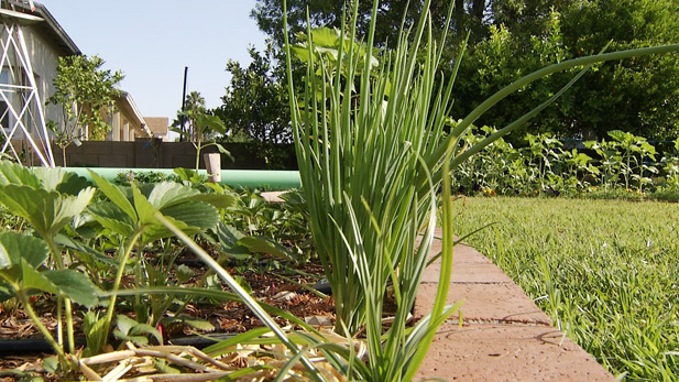 Onions being grown in a back yard.