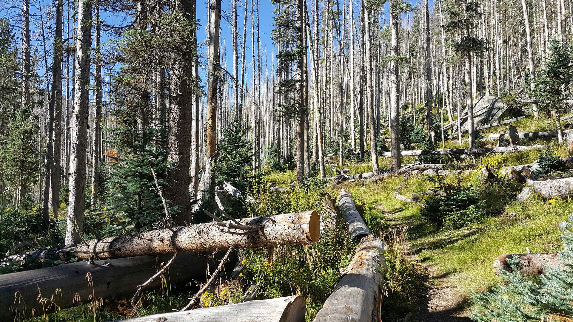Dense trees grow in a forest in northeastern Arizona.