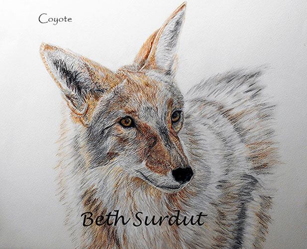 Beth Surdut Coyote unsized