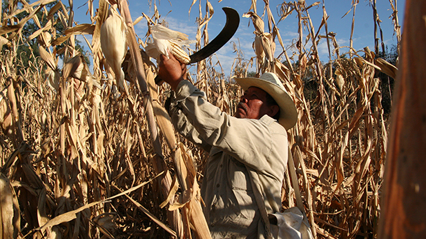 Rafael Avila harvests corn grown from seeds that trace their lineage to the Aztec and Maya cultures. Small-plot farmers like Avila say the Mexican government has ignored small farmers since NAFTA was signed in 1994.