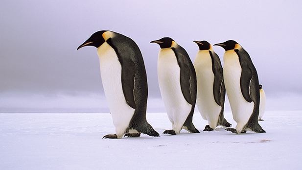 Emperor penguins walking in a row, Antarctica.