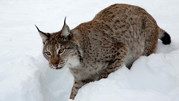 nature_snowbound_animals_lynx_spot