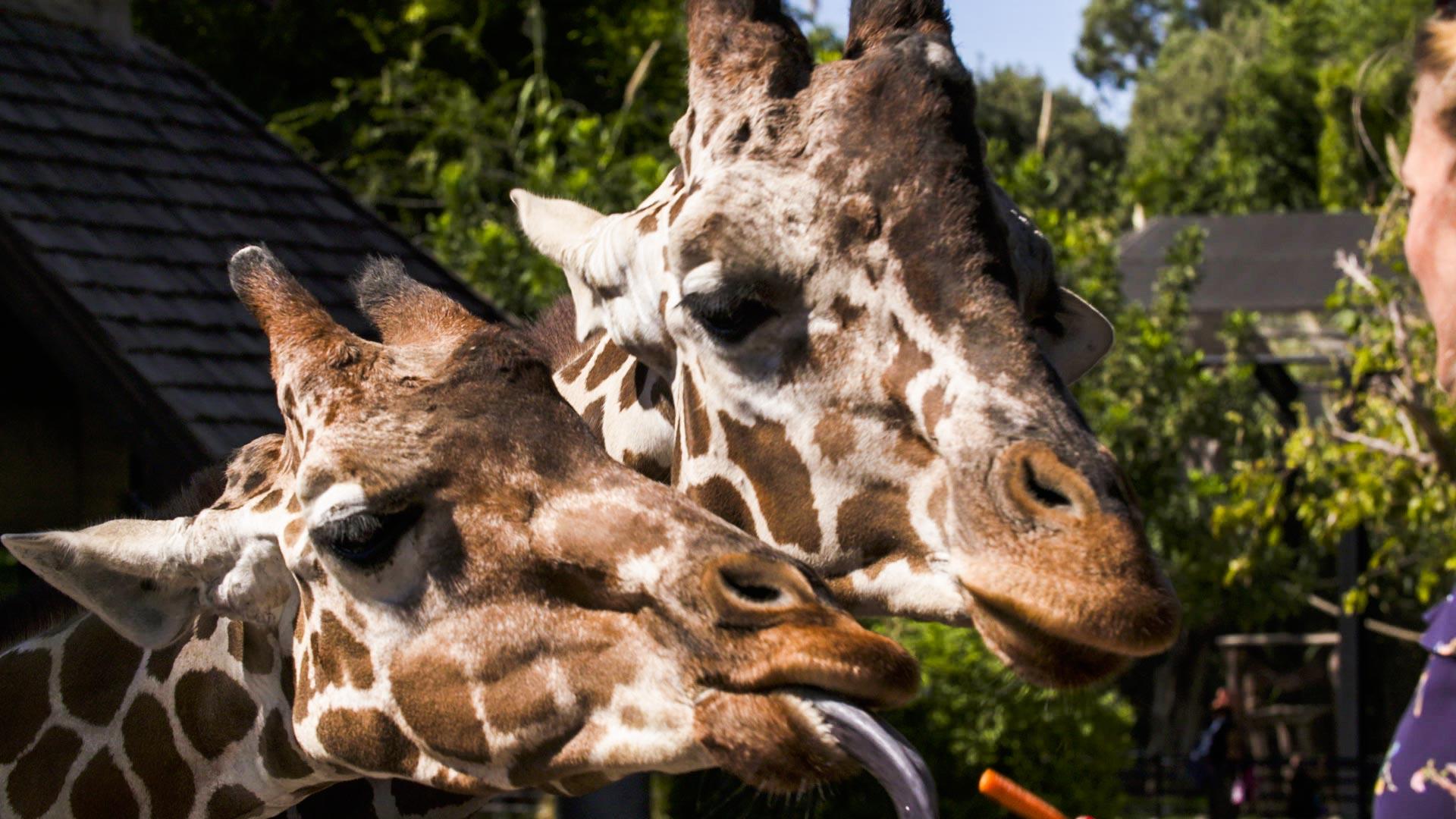 Giraffes at the Reid Park Zoo.
