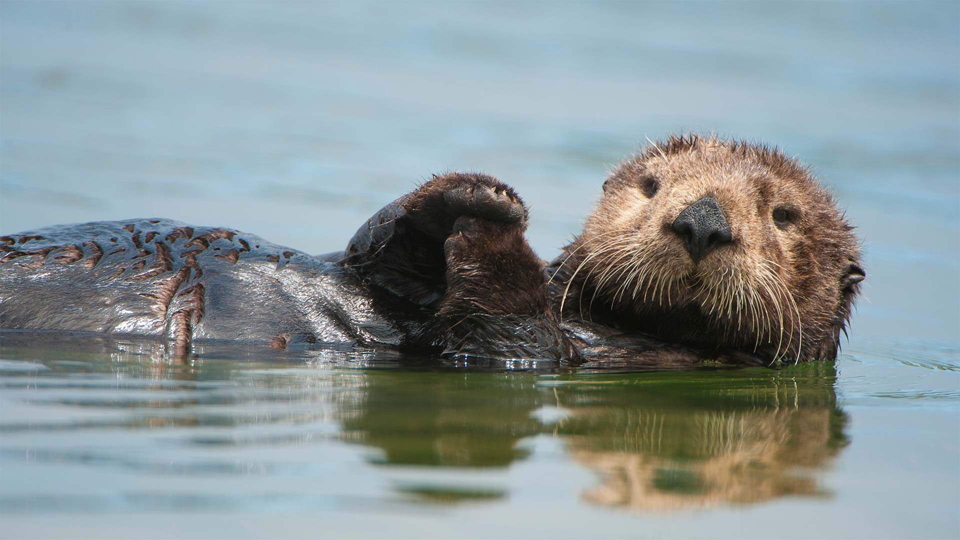 A sea otter floating on its back in California.