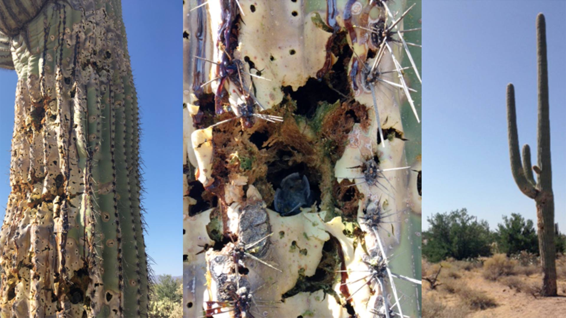 This century-old saguaro cactus was found damaged by a shotgun.