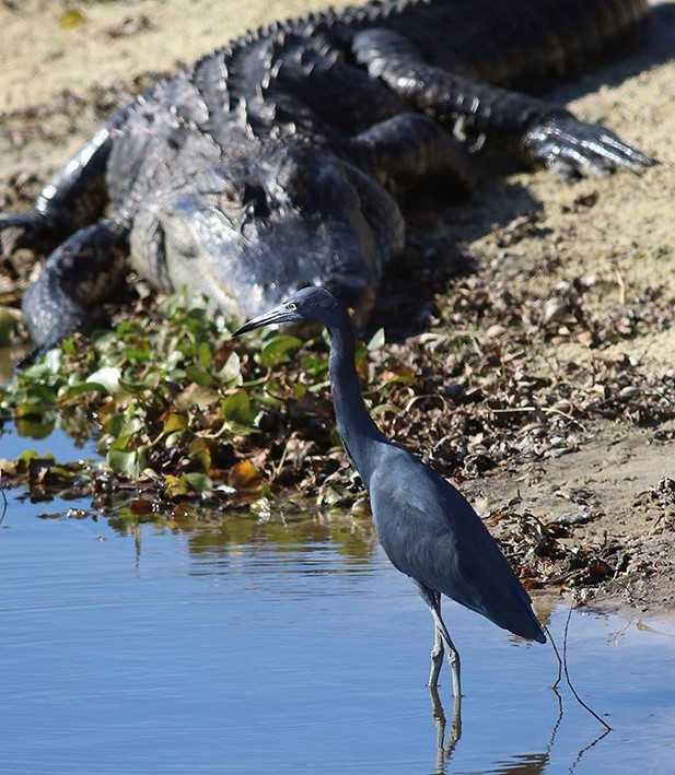 alligator and little blue heron unsized