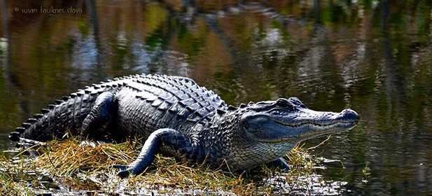 alligator on shore