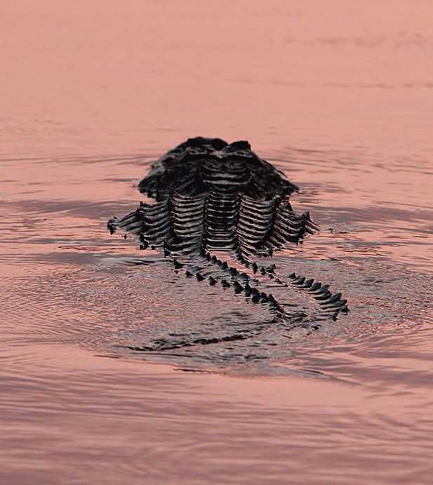 alligator in sunset unsized