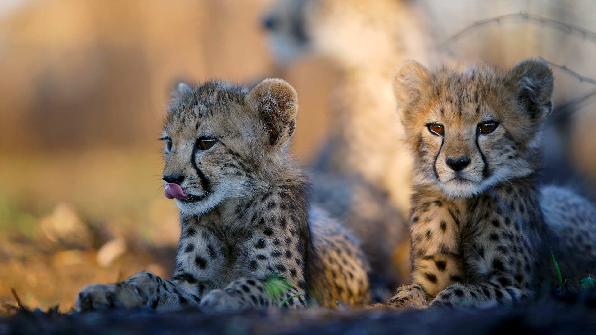 Two young cheetah cubs lie in the shade while their mother rests in the background, Malilangwe Wildlife Reserve, Zimbabwe.