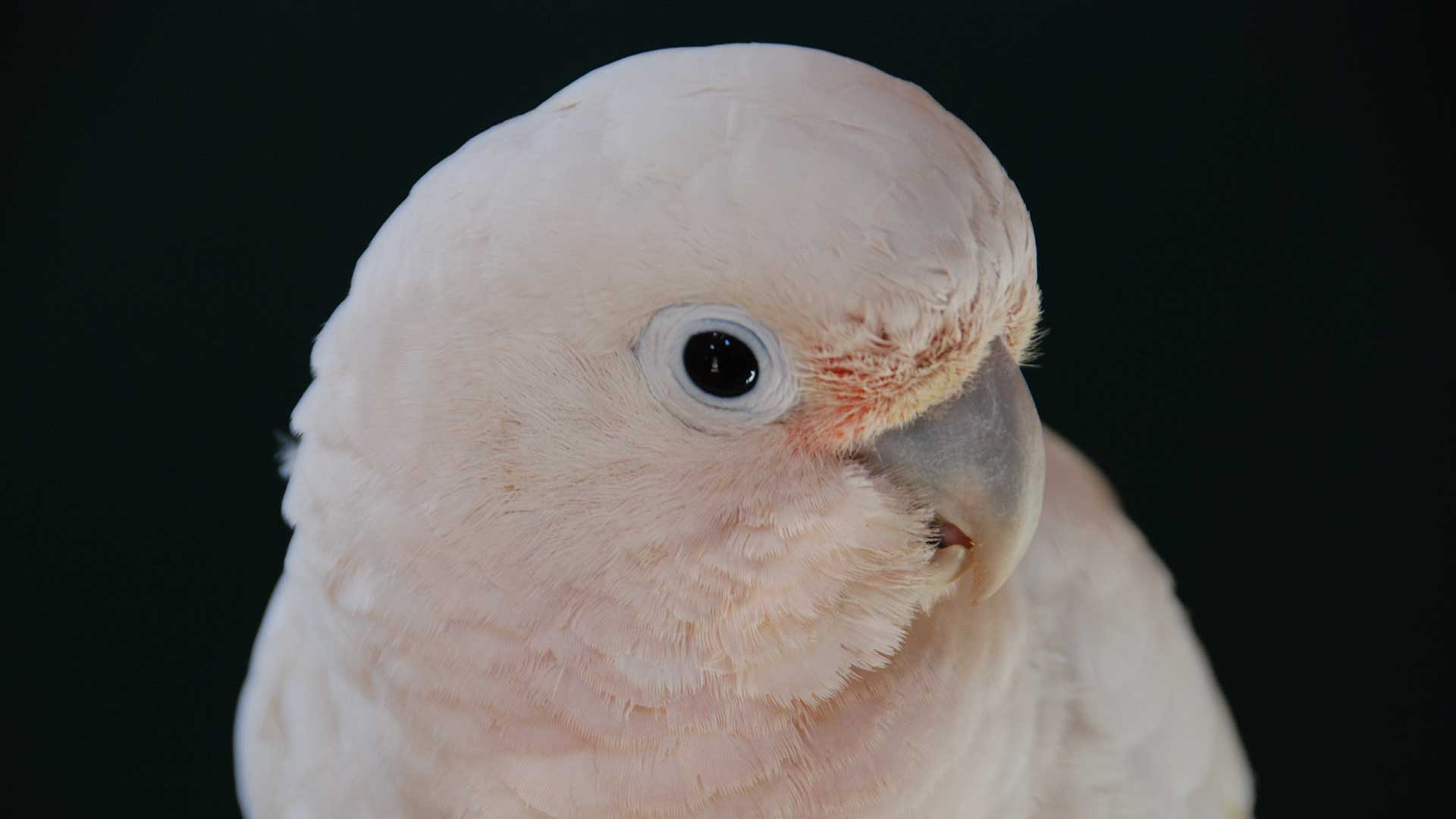 Goffin cockatoo.