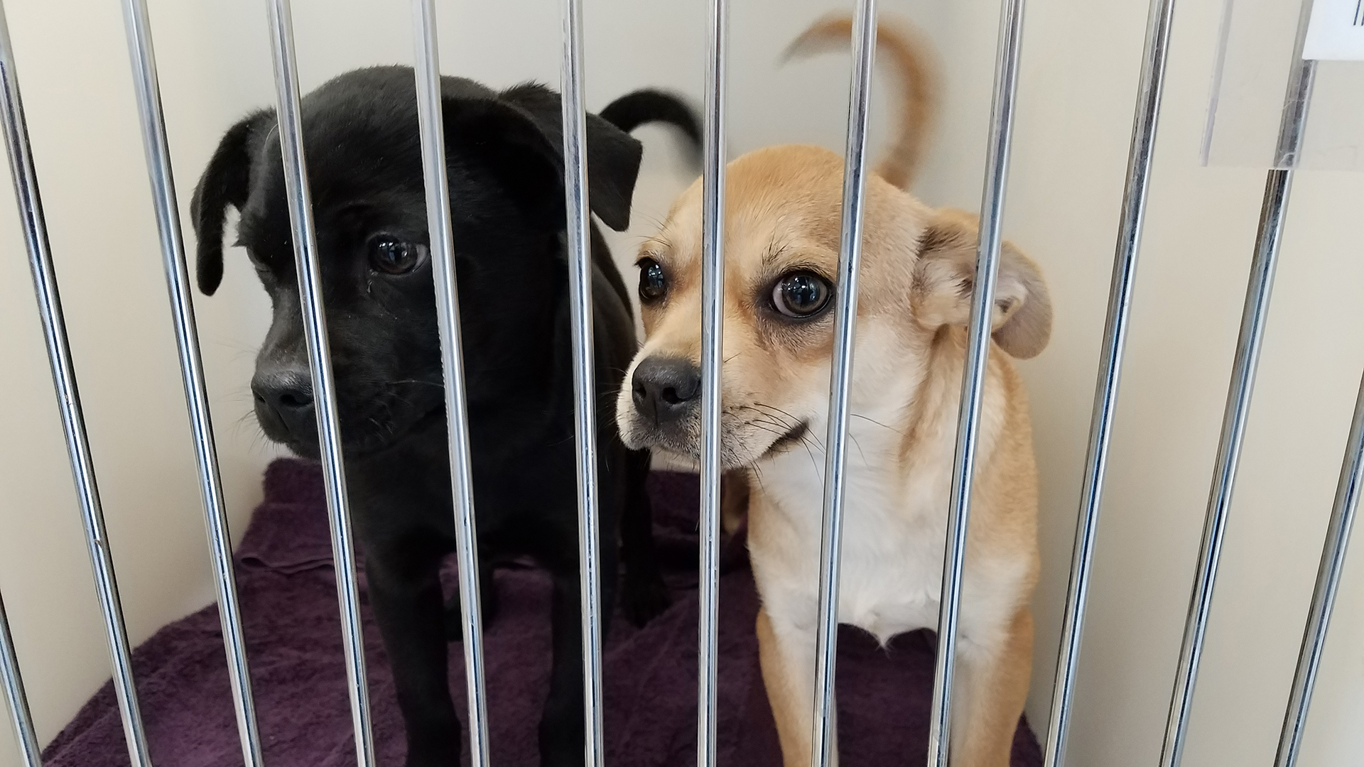 Two puppies housed in the small dogs unit of the new Pima Animal Care Center.