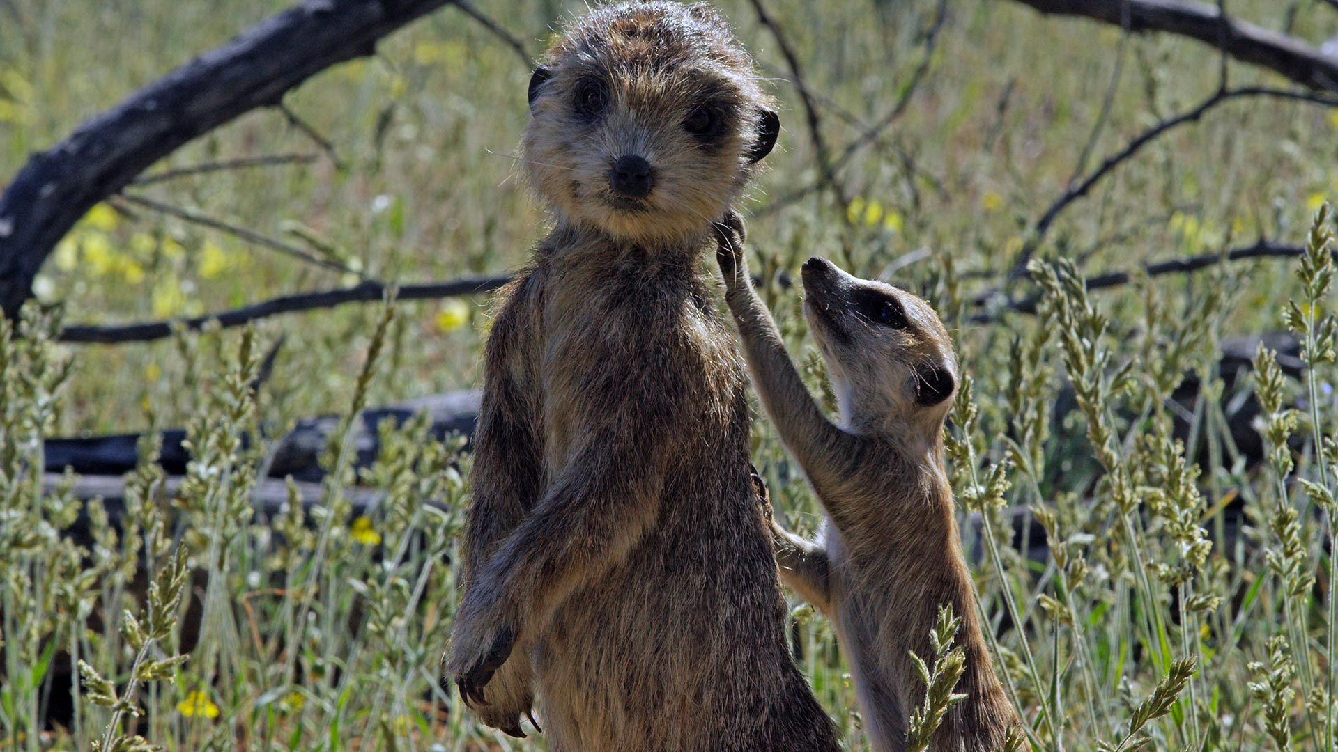Spy Meerkat is being investigated by a young meerkat.