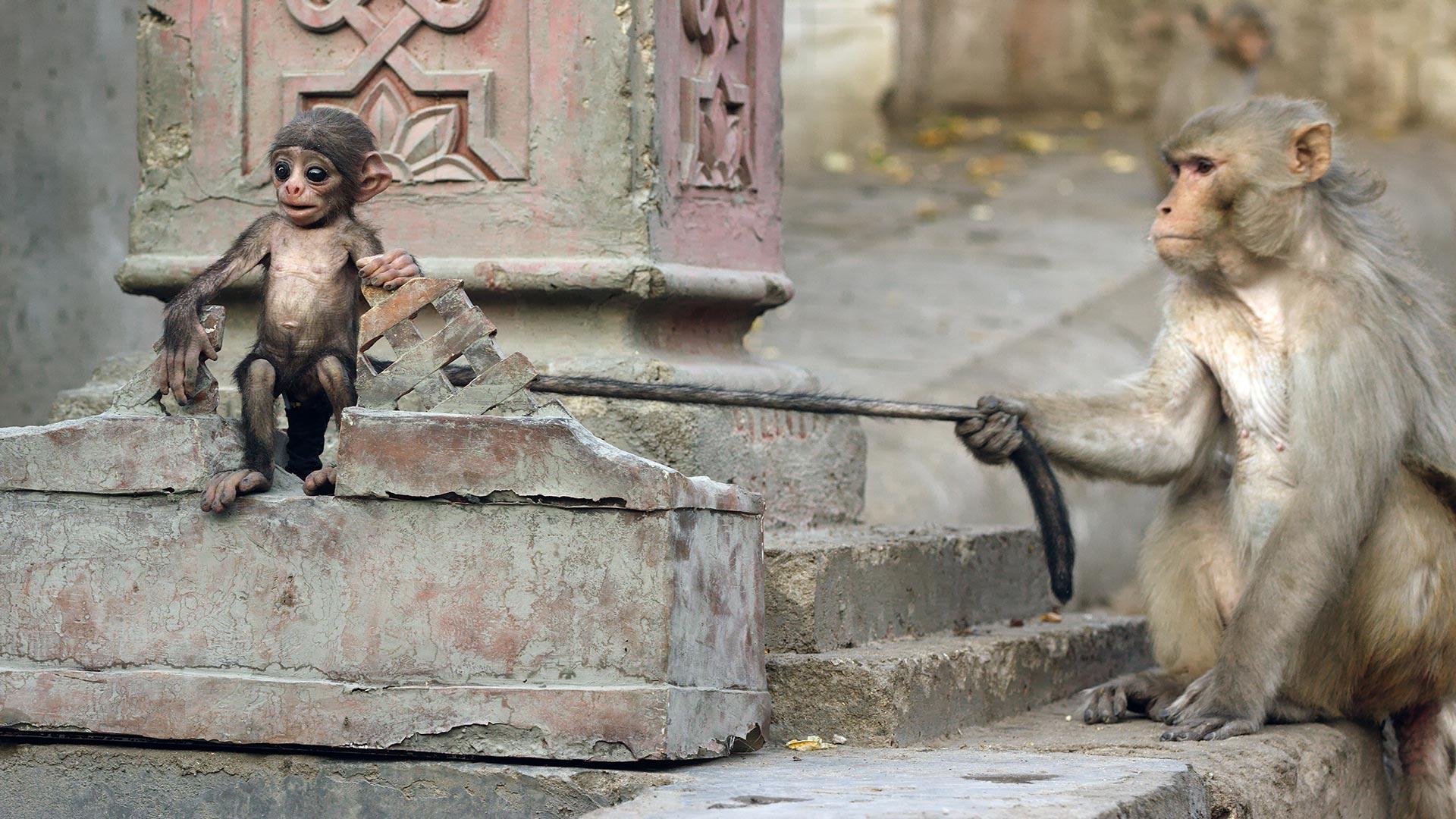 Langur monkey pulling Spy Langur's tail. India.