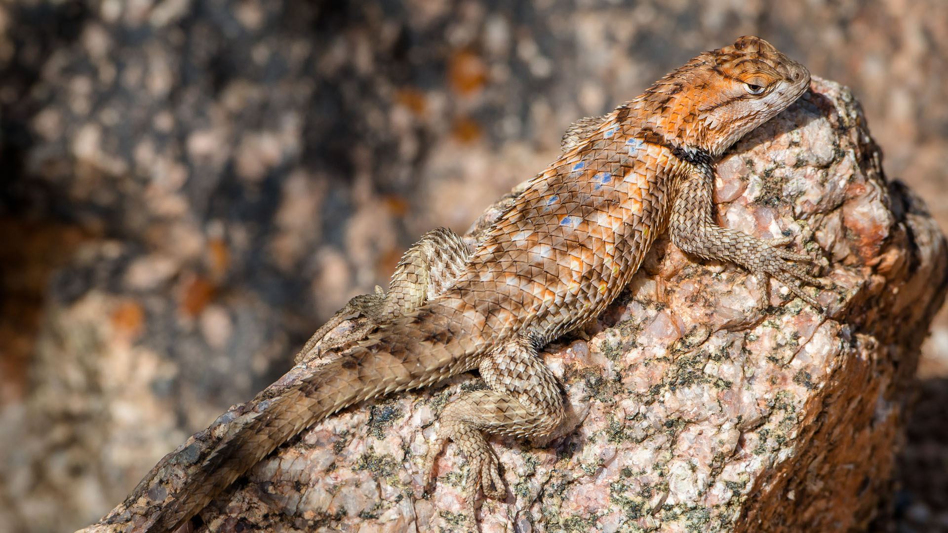 spiny lizard hero