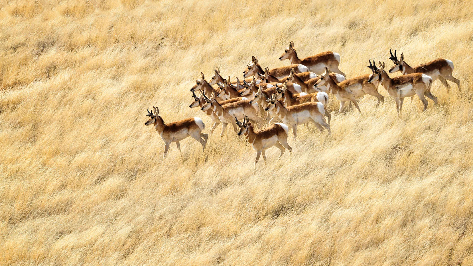 Pronghorns In A Field Of Gold.