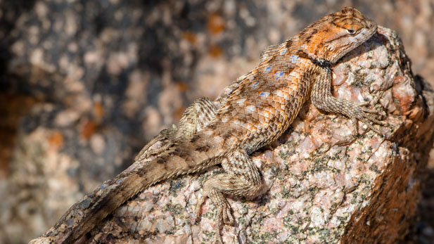 spiny lizard spot