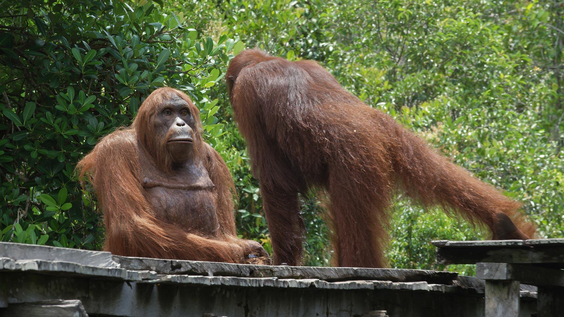 Orangutan inspecting Spy Orangutan. Borneo.
