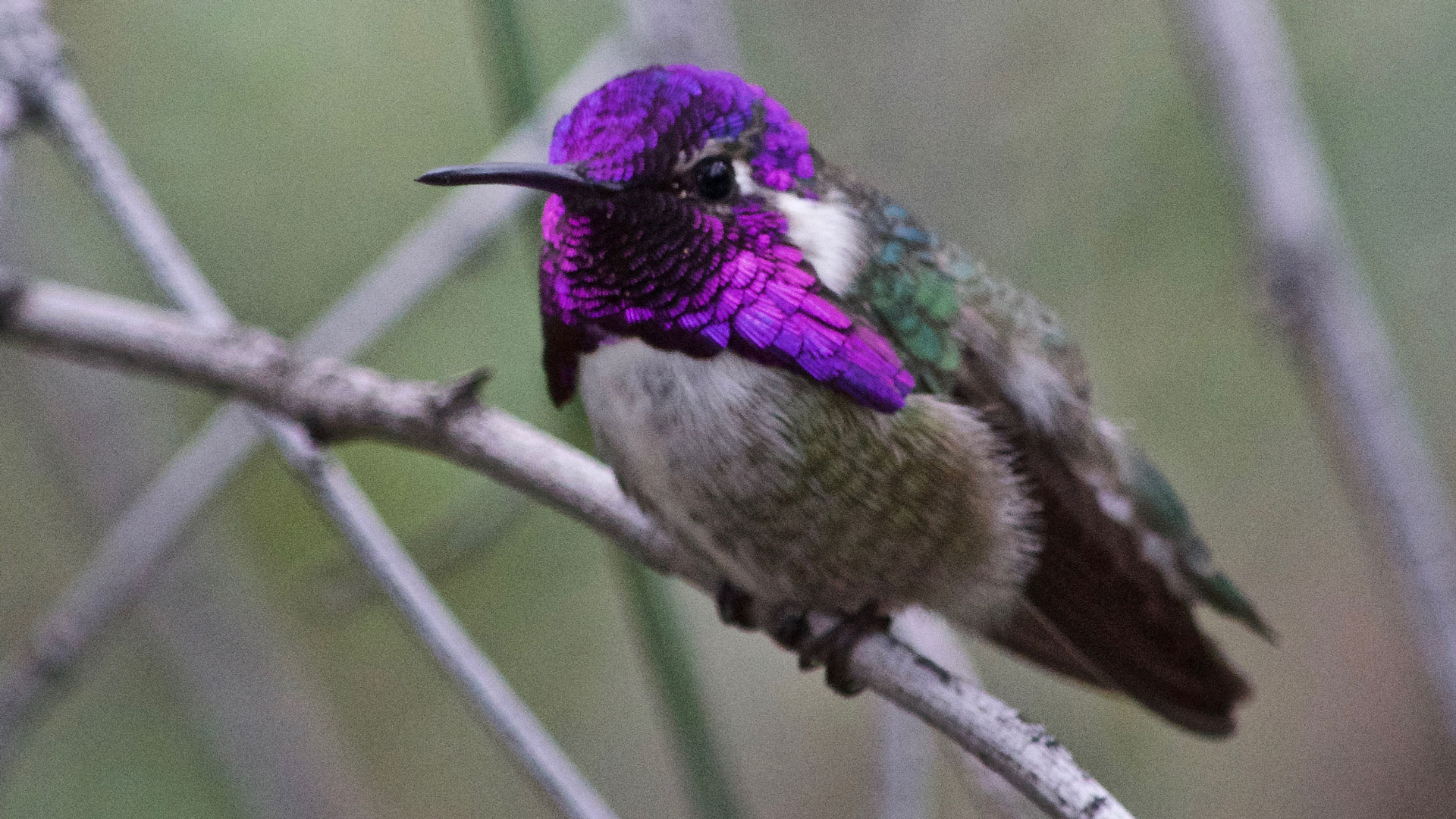 A Costa's hummingbird perches on a branch.