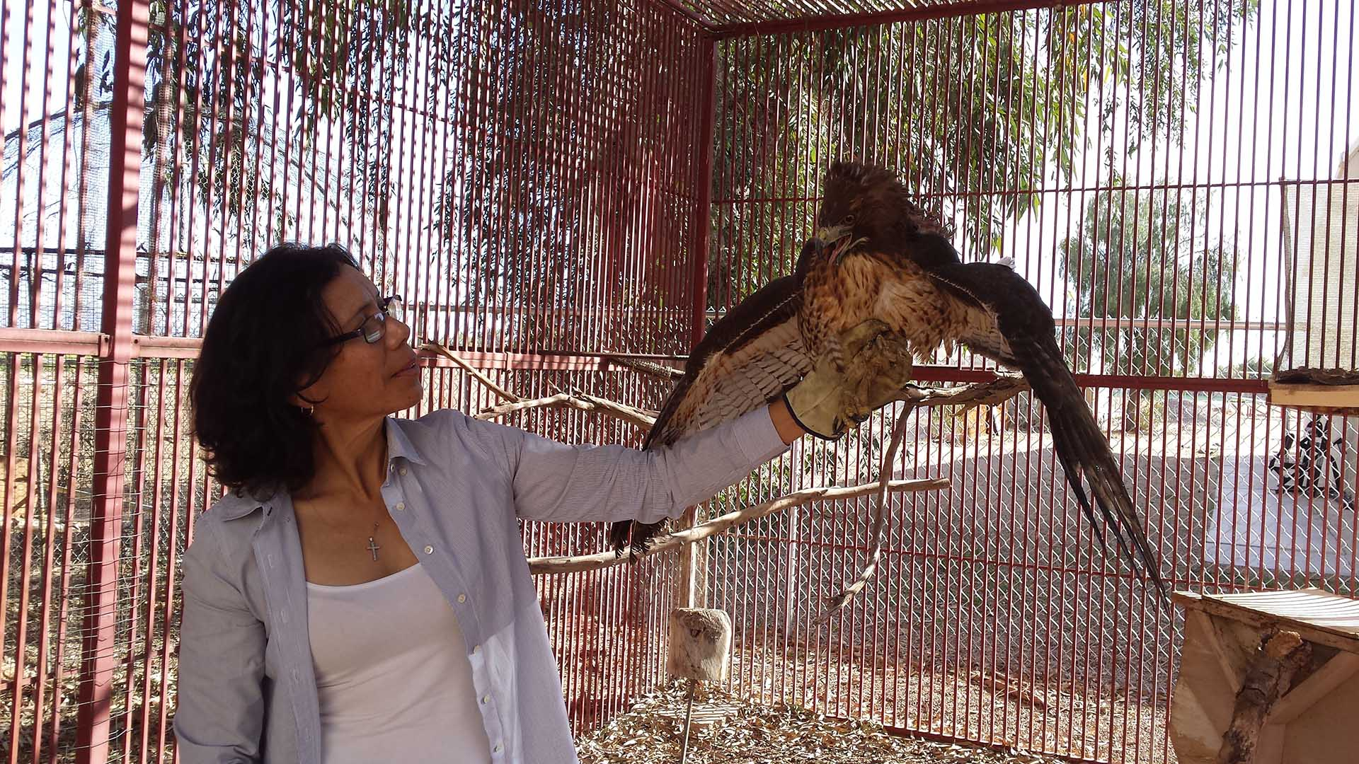 Arizona Game and Fish volunteer Cecilia Vigil holds an injured red-tailed hawk at the Arizona Western College campus aviary.