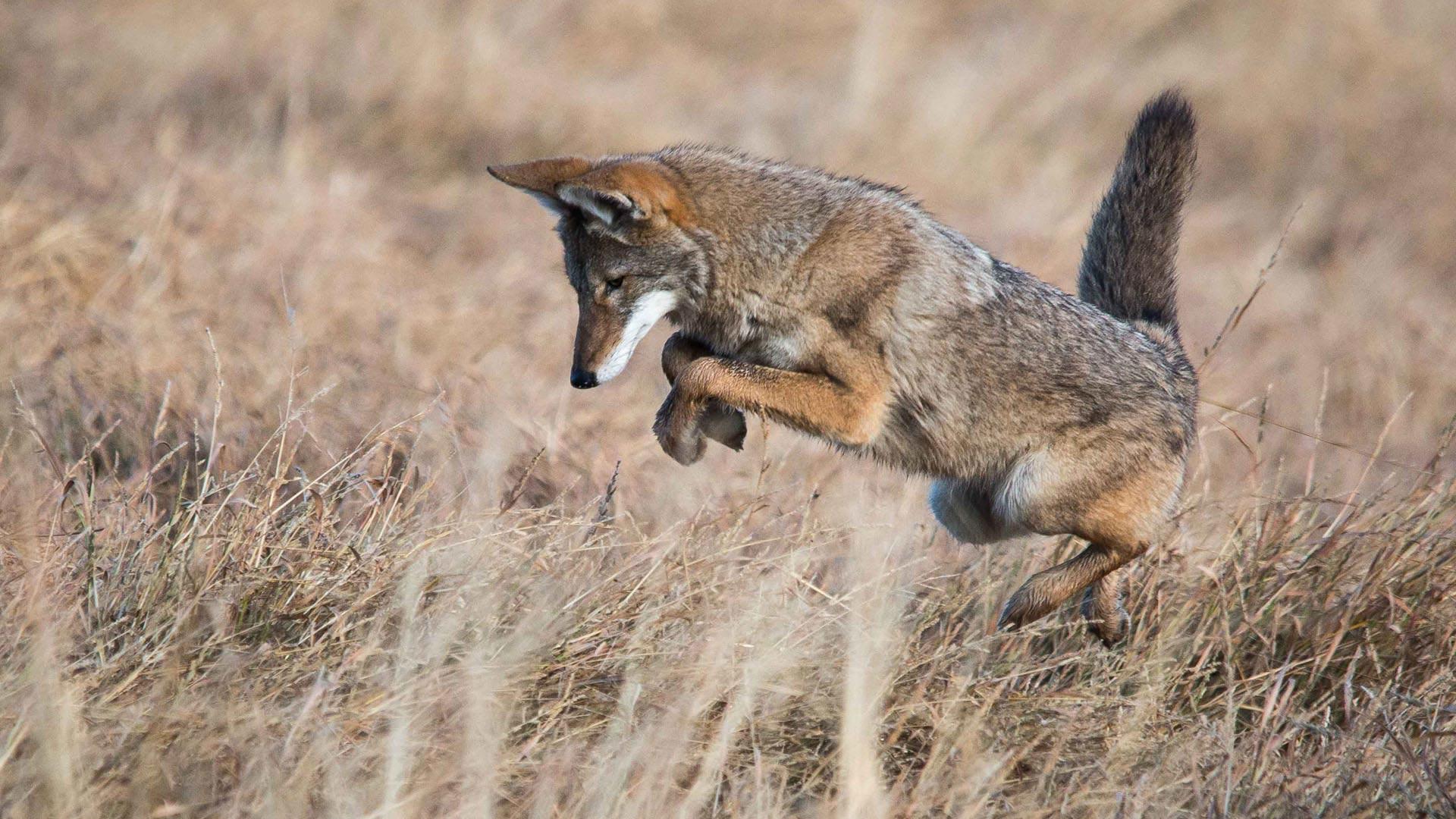 coyote hero