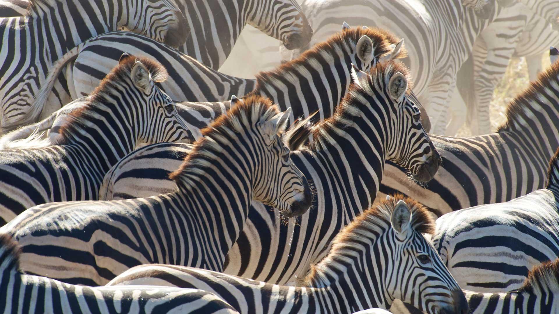 Accompany 20,000 zebras on their annual migration across the Kalahari.