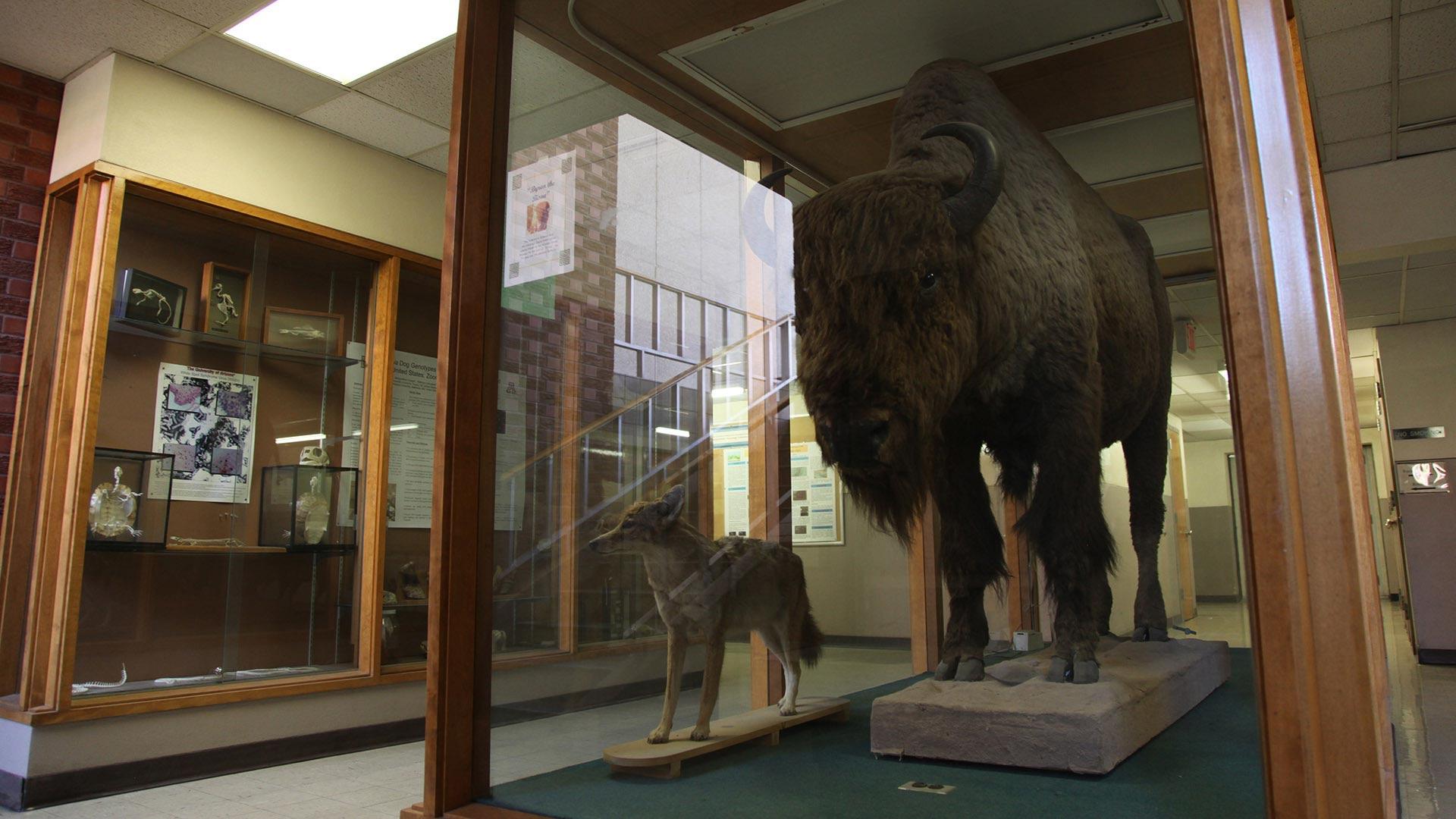 Vet Sci bison