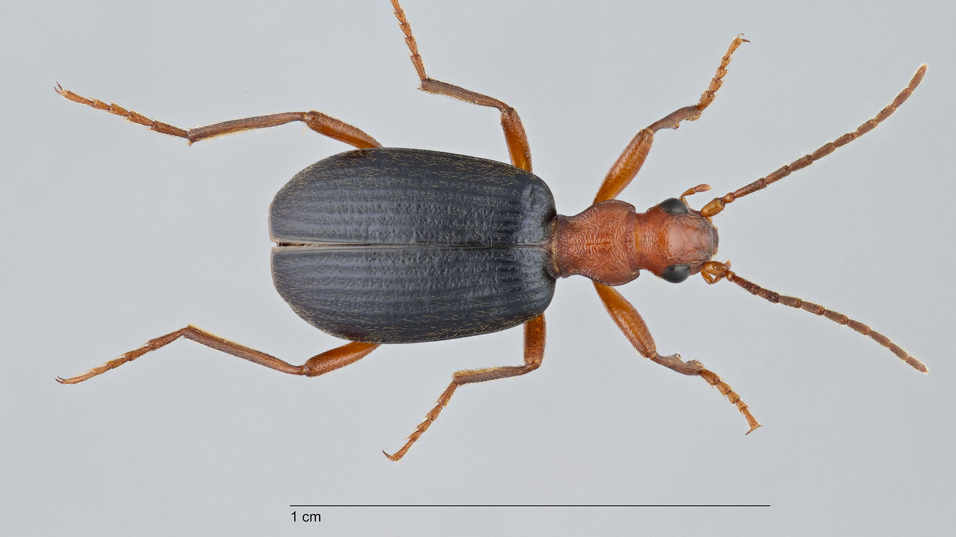 Bombardier beetle (Brachinus elonatulus) dorsal view.