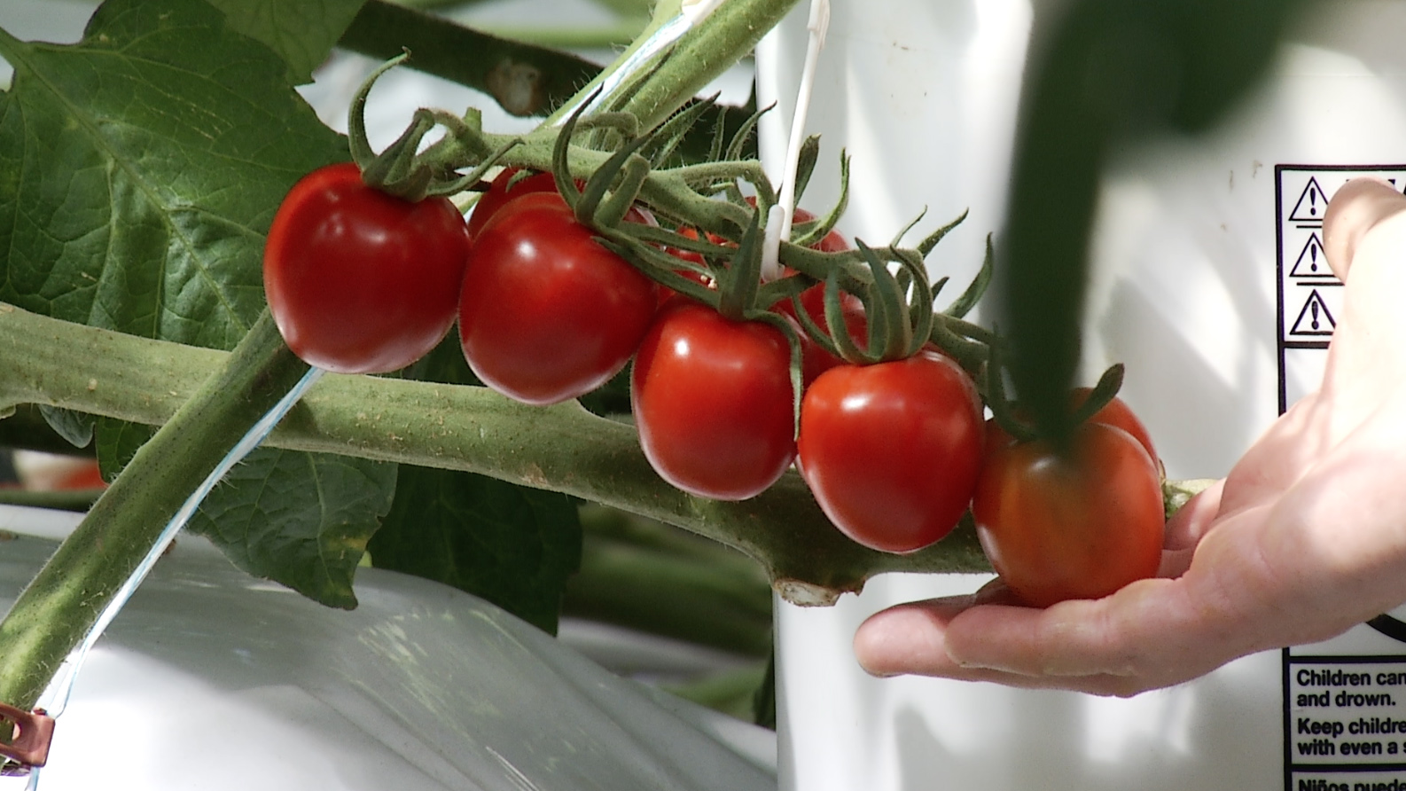 Strawberry tomatoes grow on the vines of a greenhouse run by students at the University of Arizona's Controlled Environment Agriculture Center.