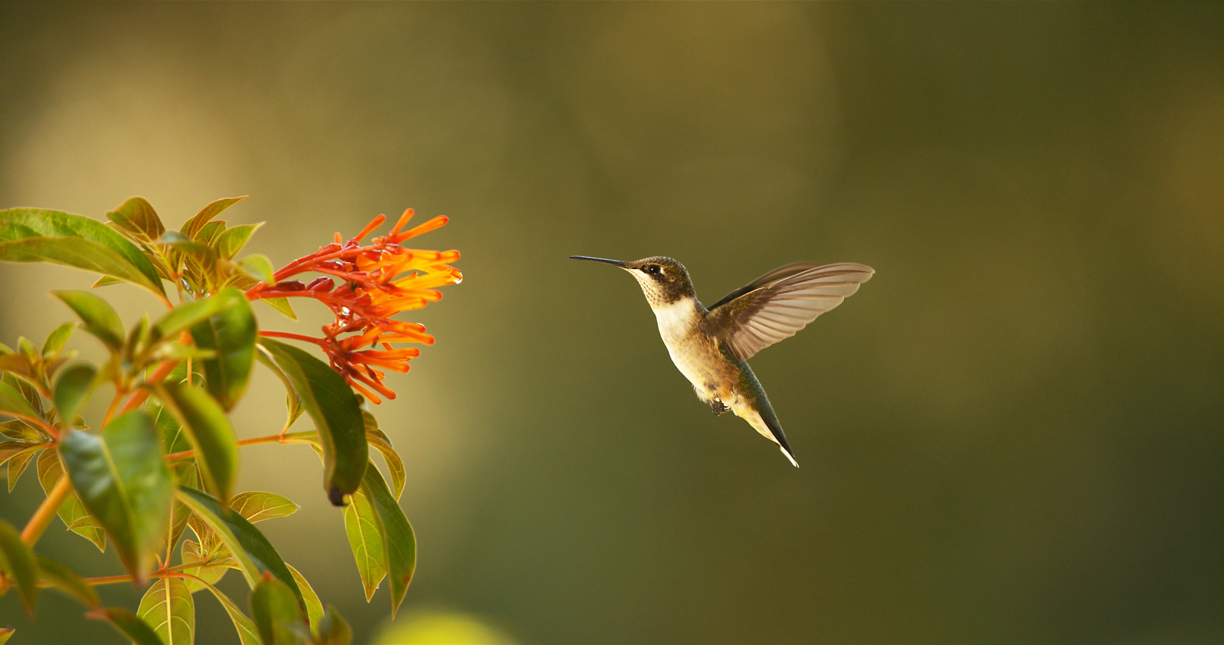 Ruby-throated hummingbird (Archilochus colubris) seems to stop in mid-air as it approaches a flower. Corpus Christi, TX.