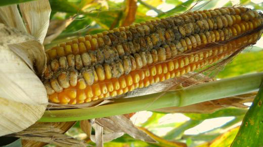 Alfatoxins on an ear of corn.