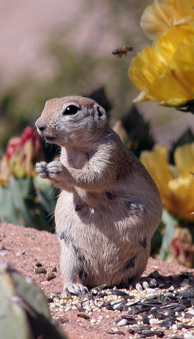 ground squirrel pregnant and bee