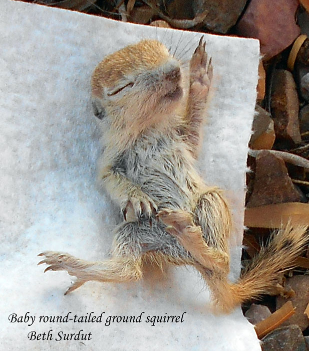 deceased baby ground squirrel