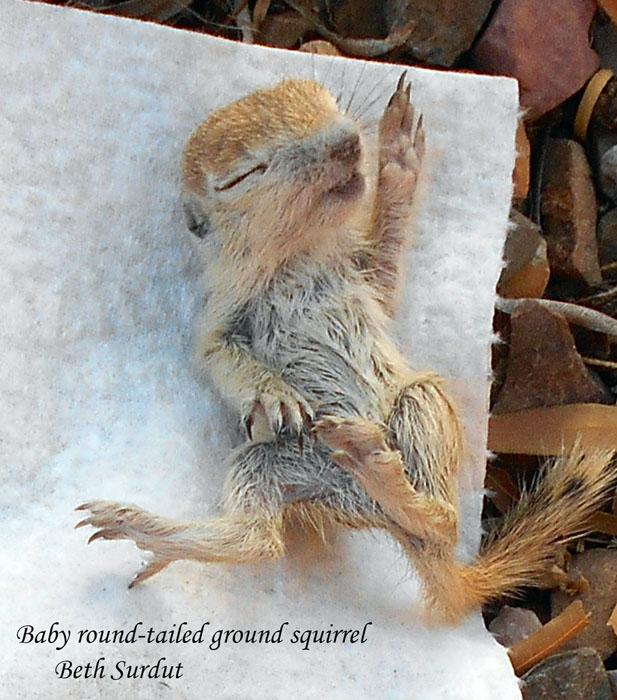 deceased baby ground squirrel