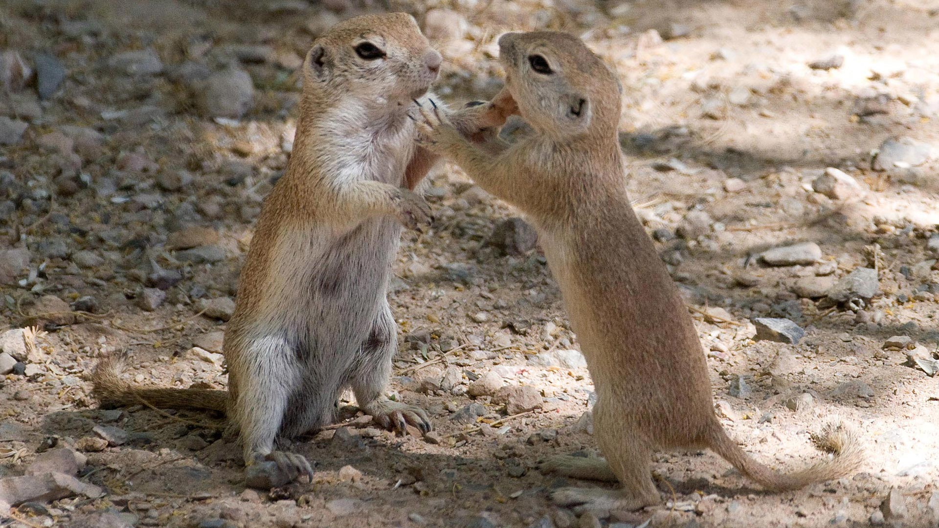 ground squirrels standing together