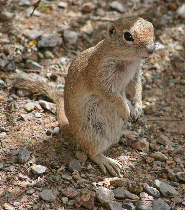 ground squirrel on hind legs unsized spotlight