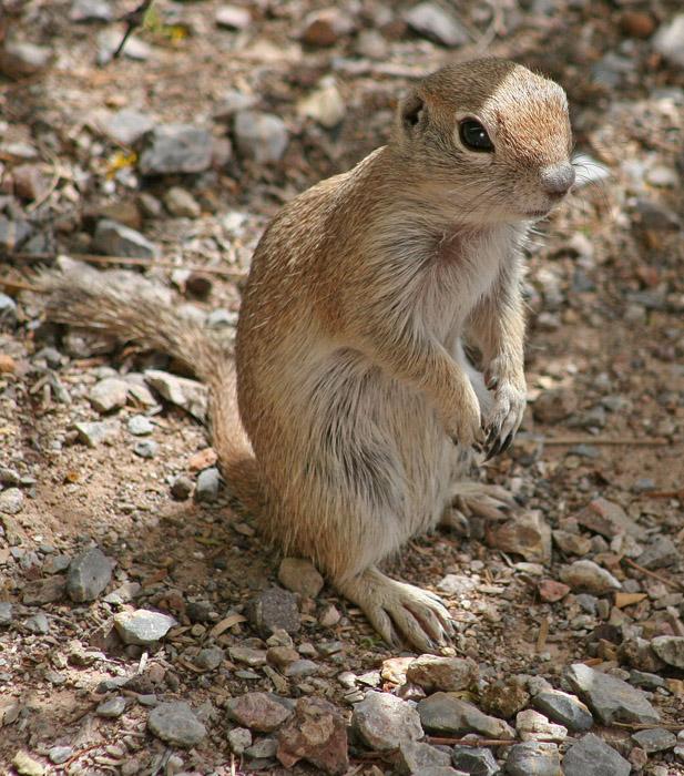 ground squirrel on hind legs unsized spotlight