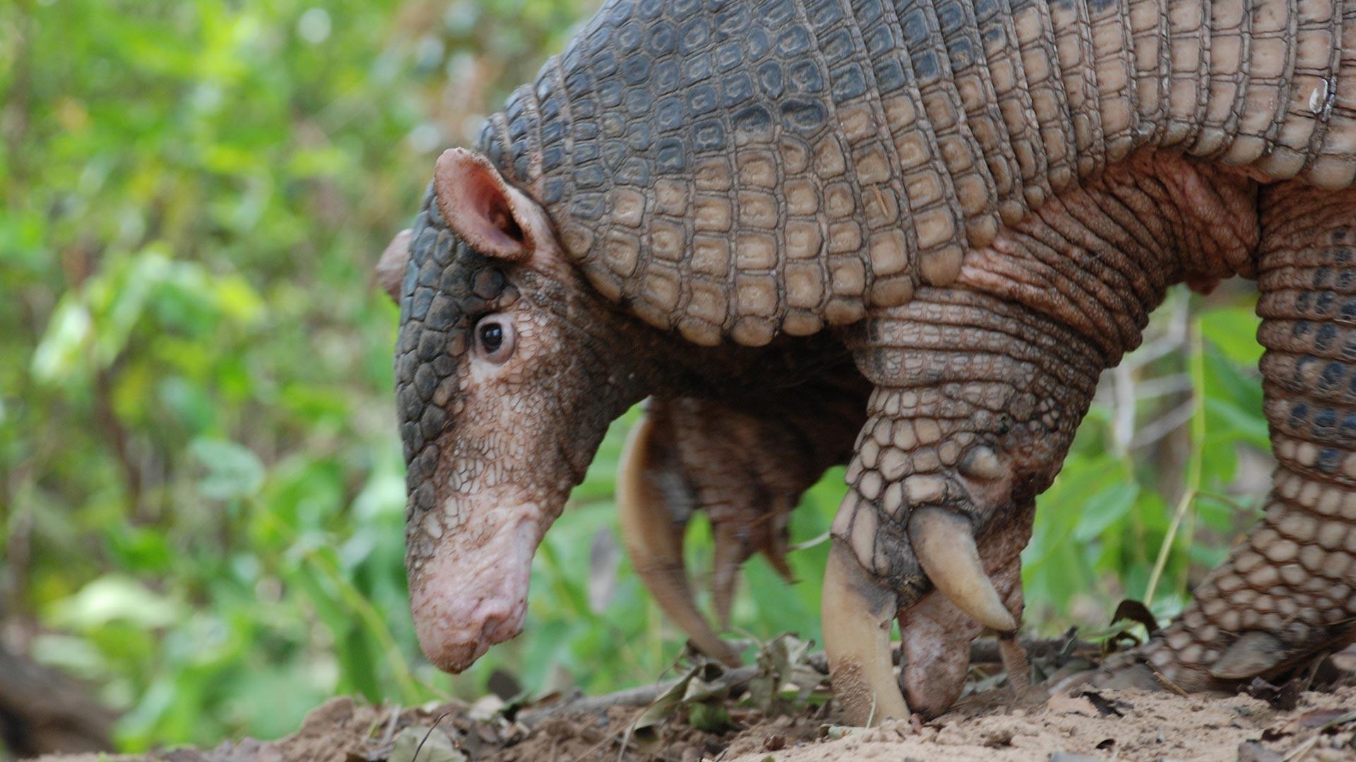 Giant armadillo. Mato Grosso do Sul, Brazil.