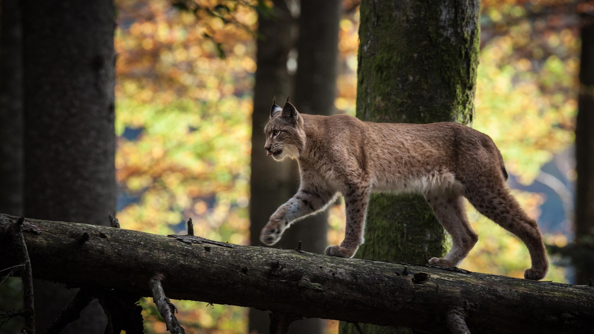 Adult lynx in forest. Kalkalpen National Park, Austria.