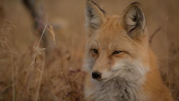 Fox spotlight